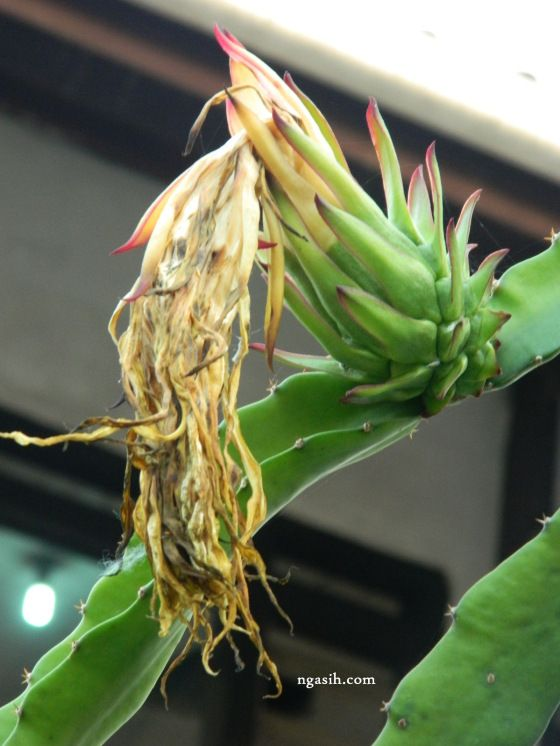 beautiful dragon fruit flowers drop off
