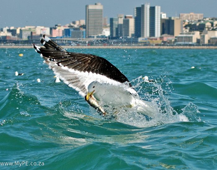 An endless fascination with birds in flight - this seagull was feeding off Port Elizabeth's old North End Beach whilst we waited for a shark as part of an exercise with the Shark Research Unit. See the article for images of more seagulls in flight.