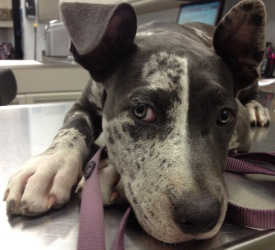 Ava is an adoptable Great Dane Dog in Charlotte, NC. Ava is a gorgeous blue merle Great Dane mix. This sweetheart is only 3 months old and she is already huge. She is great with other dogs and is be...