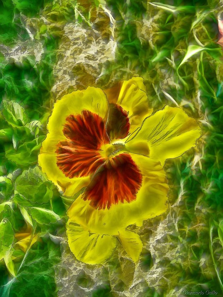Pansy by Giancarlo Gallo