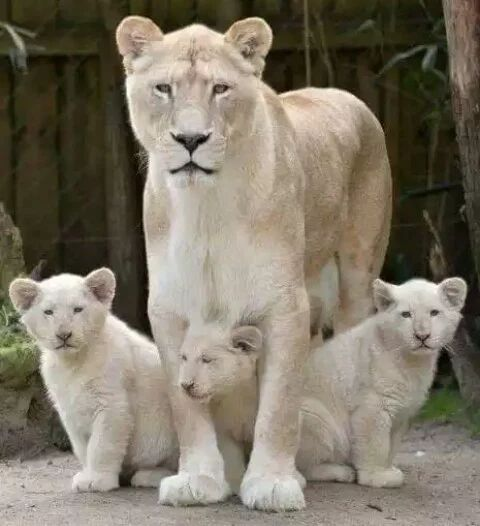 White Lioness and triplets                              …