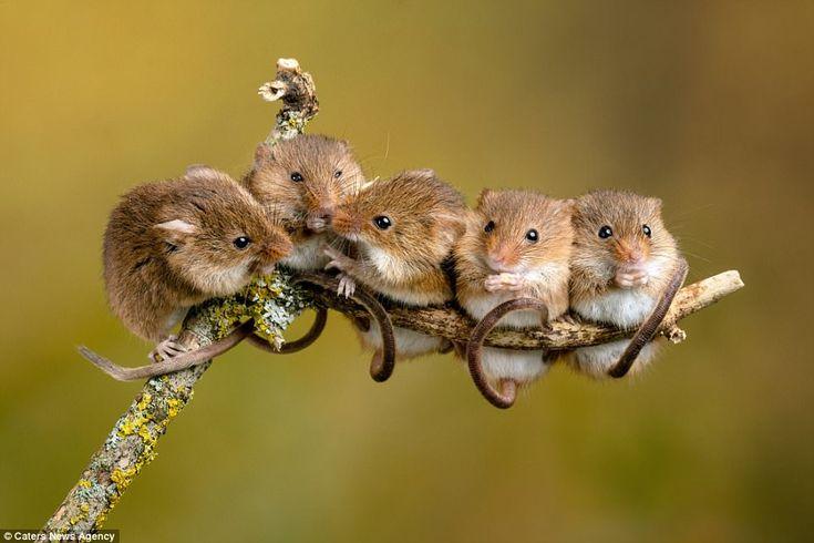Mice to meet you! Photographer captures adorable mouse romance