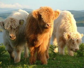 Scottish Highland Cattle.  They have 2 coats of fur....a long coat on the outside and shorter coat on the inside...keeps them warm in the winter.