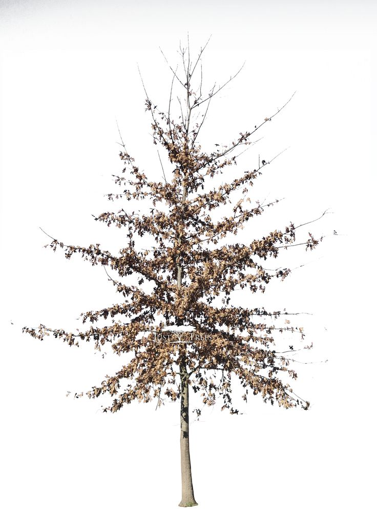 Quercus palustris | Common Name: Pin Oak | Autumn 2