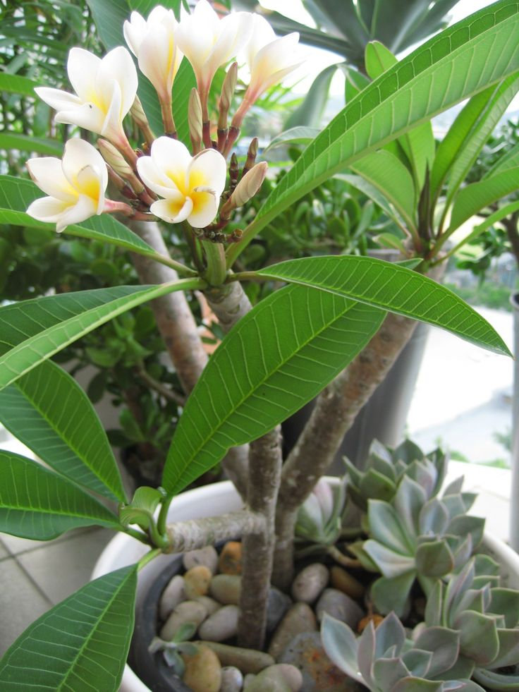Plumeria Tree | frangipani tree plumeria alba jade plant crassula ovata money trees