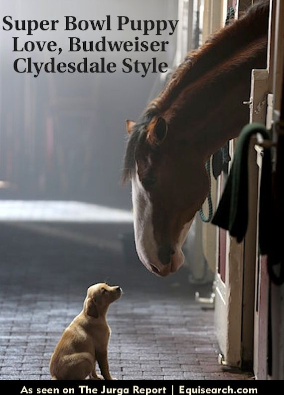 Yellow lab puppy and Budweiser Clydesdale in upcoming Super Bowl commercial 2014