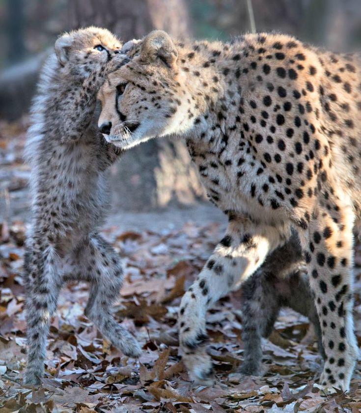 Netherlands Burgers Zoo, 6 Cheetahs born September 2016 #BigCatFamily