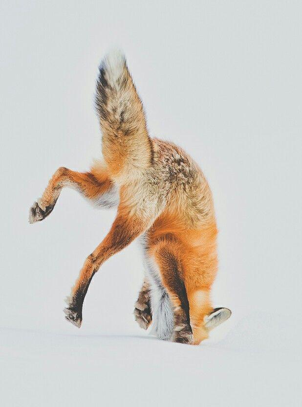 "Red Fox Burrowing After Prey; ""Got it!"""