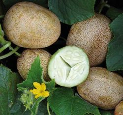 Little Potato Cucumber (Khira Balam)