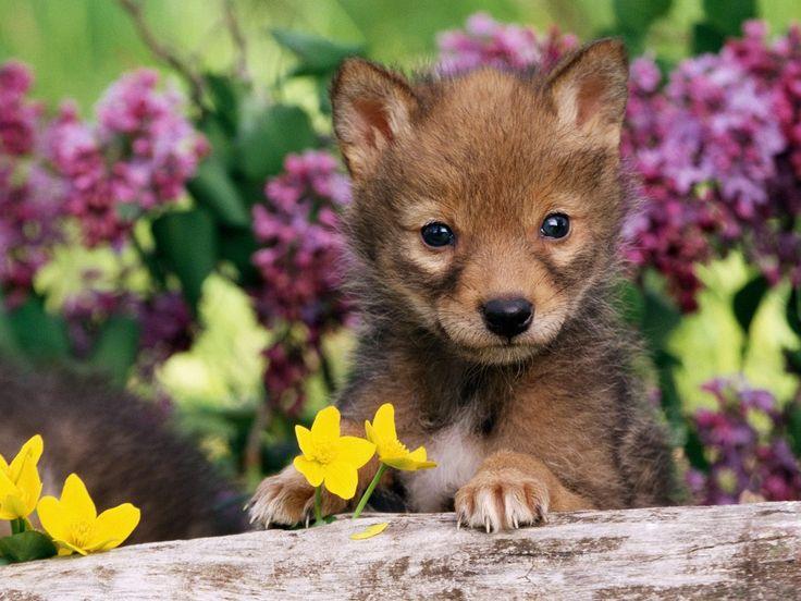 Coyote Pup Wallpaper Baby Animals