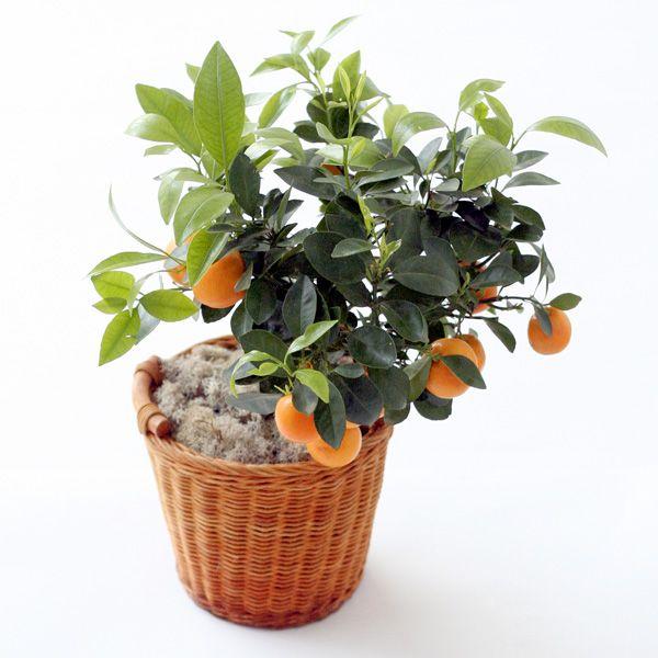 Апельсин выращивание и уход в домашних условиях