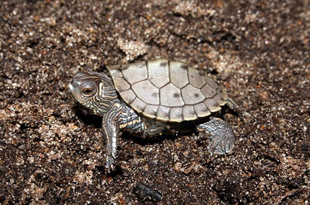 False Map Turtle Map Turtle Turtle Turtle Breeds
