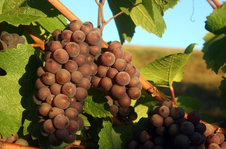 Pinot gris is now the hot new white wine