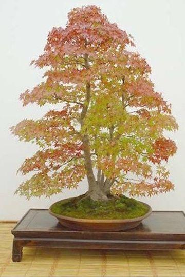 Japanese maple Bonsai from clump (Aido Bonsai)