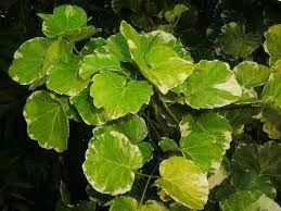 Millonaria variegada - Araliaceae - Polyscias crispatum  #DeCaliSeHablaBien