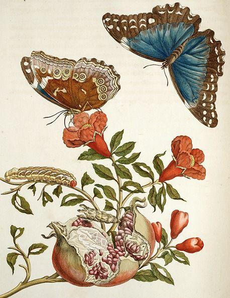Granaatboom. Uit: Metamorphosis Insectorum Surinamensium, vertaald naar 'Over de voortteeling en wonderbaarlijke veranderingen der Surinaamse insecten'. Amsterdam 1730.