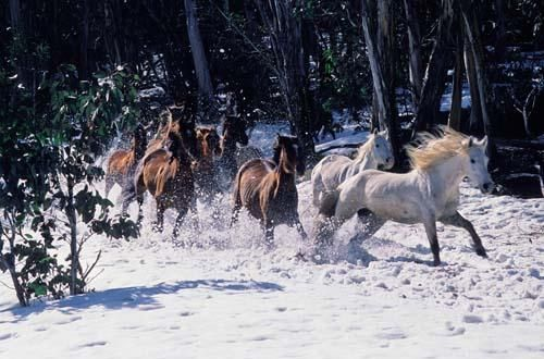 Brumbies in the Snowy Mountains. A Brumby is a free-roaming feral horse in Australia. Although found in many areas around the country, the best-known brumbies are found in the Australian Alps region in south-eastern Australia. Wikipedia