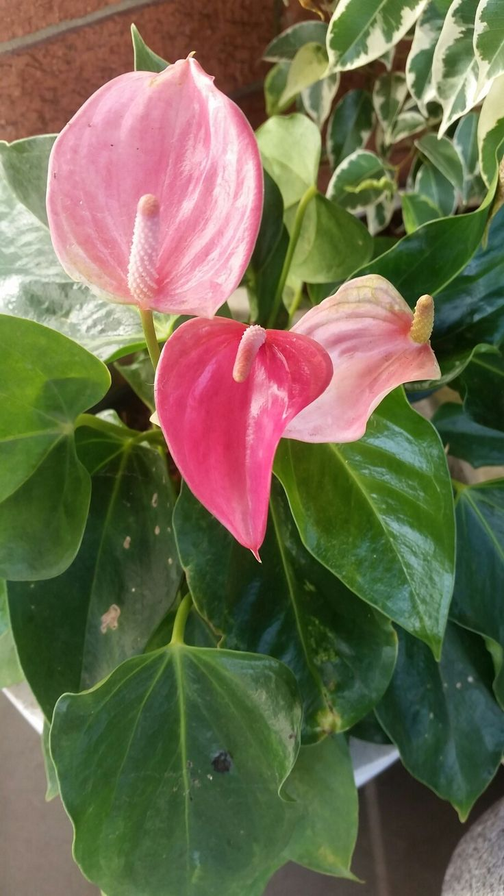 Anthurium Flamingo Flower Anthurium Flamingo Flower Flowers