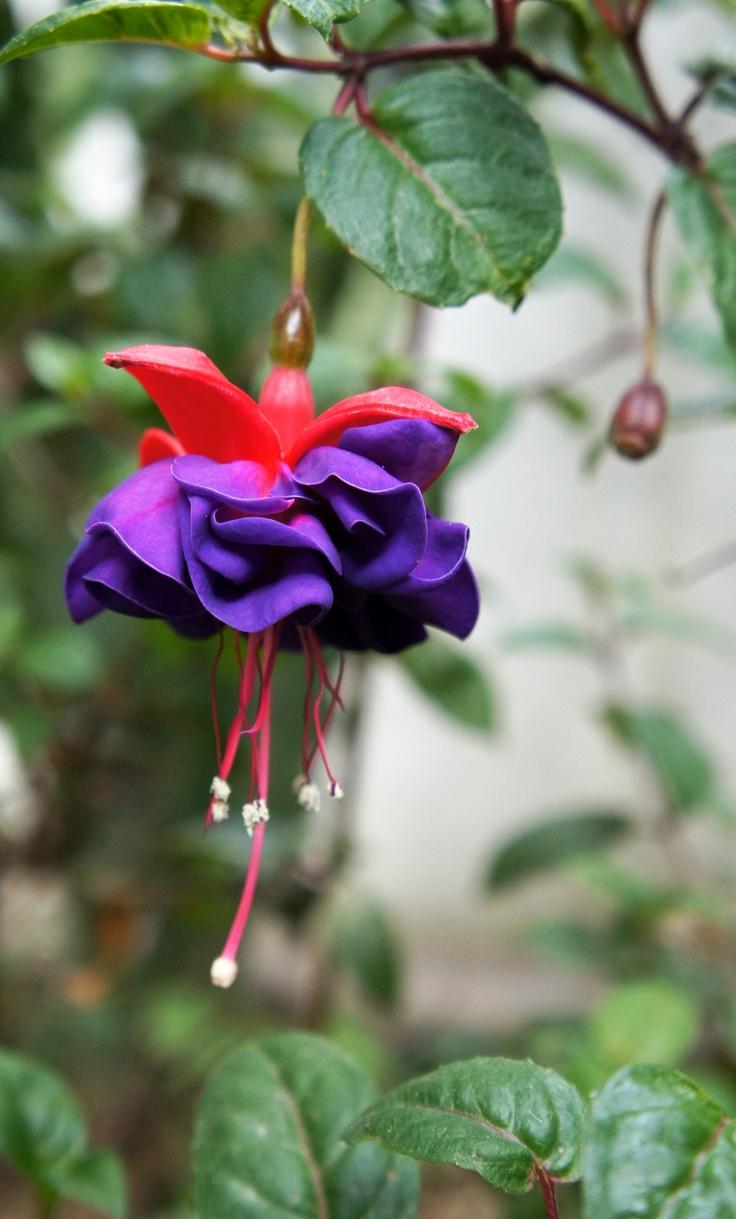 claveles púrpura