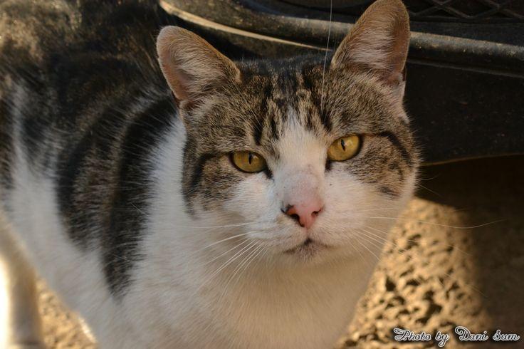 Pisica de cartier (Neighborhood cat)