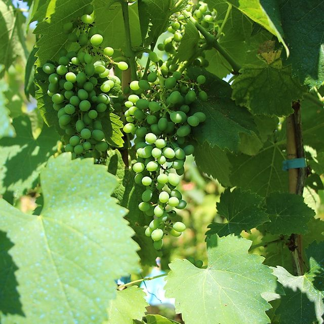 #Vite da Vino Falanghina - Spedizione Gratuita da €50 via @europlantsvivai
