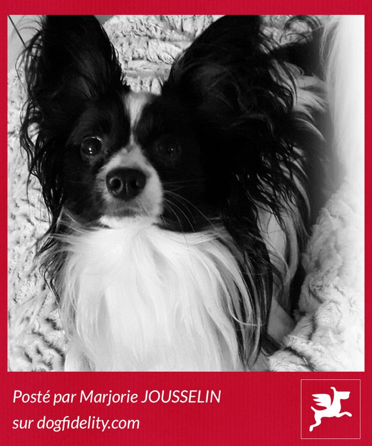 Photo de Pantoufle, Épagneul Nain Continental d'1 an publiée sur dogfidelity.com #chien #epagneul #nain #continental #papillon #polaroid #dogfidelity #dog #pola #instamoment #instadog #picture #photo #bandw #blackandwhite #black #white