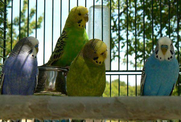 فترة الراحة لطيور البادجي Animals Parrot Bird