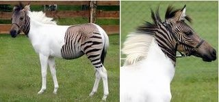 A zebroid (also zebra mule and zebrule) is the offspring of any cross between a zebra and any other equine: essentially, a zebra hybrid. In most cases, the sire is a zebra stallion. Offspring of a donkey sire and zebra mare, called a zebra hinny, do exist but are rare. Zebroids have been bred since the 19th century.The zebroid showed in the picture above, Eclyse, is a very unusual one, because of her coloring. With her über distinct makings, it's really hard not think she's a Photoshop…