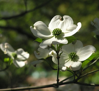 Dogwood - Virginia State Tree Lovely Spring Blossoms on this Small Tree that Thrives in Dappled Sun via www.google.com