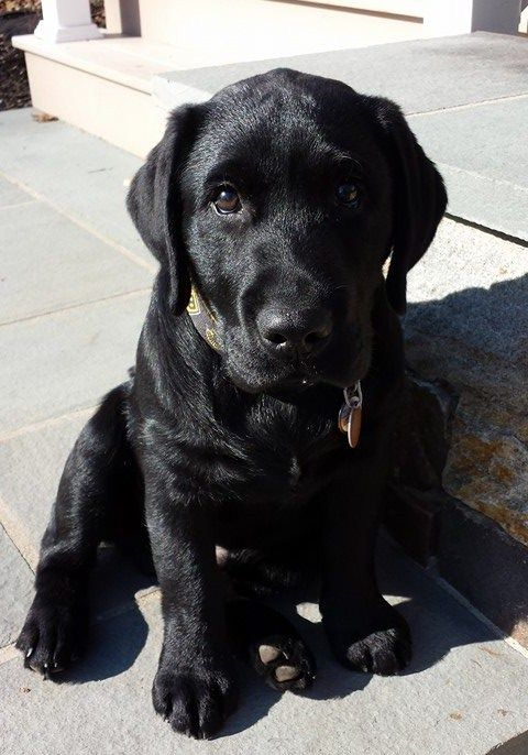 Black Labrador Retriever puppies for sale NY