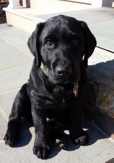 Black Labrador Retriever puppies for sale NY