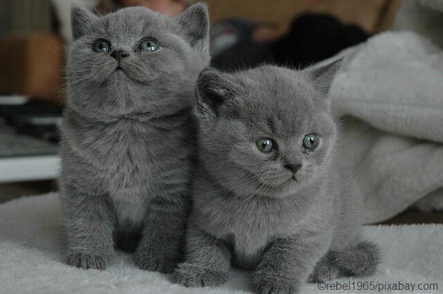 Britisch Kurzhaar Katze Kaufen Mit Bildern Katzen Kaufen