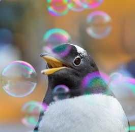 Penguins At Edinburgh Zoo Celebrate Penguin Awareness Day With A Bubble Machine...see more at PetsLady.com -The FUN site for Animal Lovers
