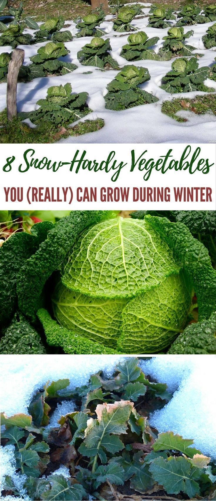 8 Snow-Hardy Vegetables You (Really) Can Grow During Winter - Winter will be here soon, so it's time to start thinking about what vegetables you can grow easily in your survival garden that can make it through the harsh weather. Image by http://pxleyes.com