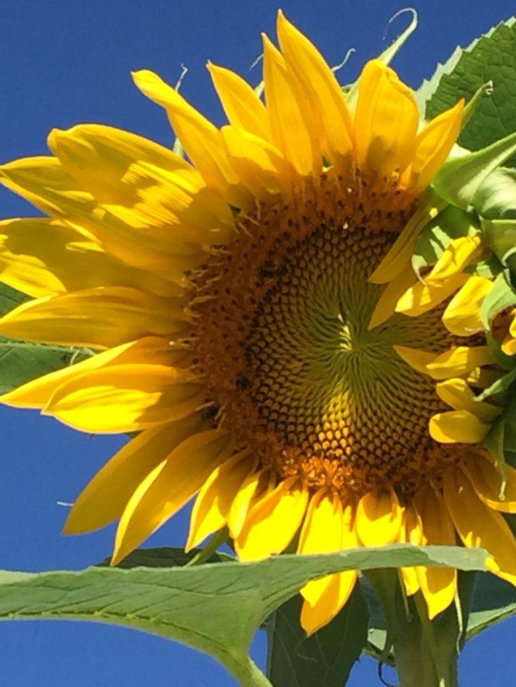 3653 Best Sunflower Smitten Images On Pinterest