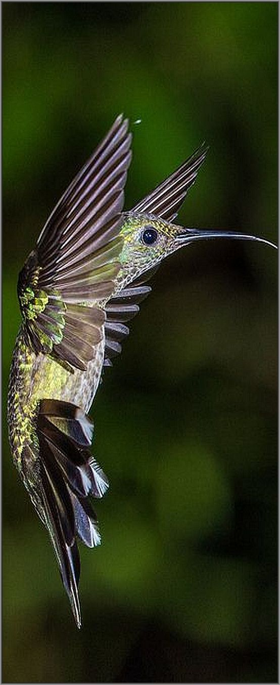 Scaly-breasted Hummingbird   Pital, Alajuela, Costa Rica  -- (Phaeochroa cuvierii)  #photo by  NigelJE #bird animal nature wildlife exotic pet