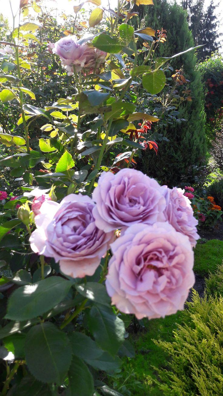 Novalis. Róża, która nie znosi upałów