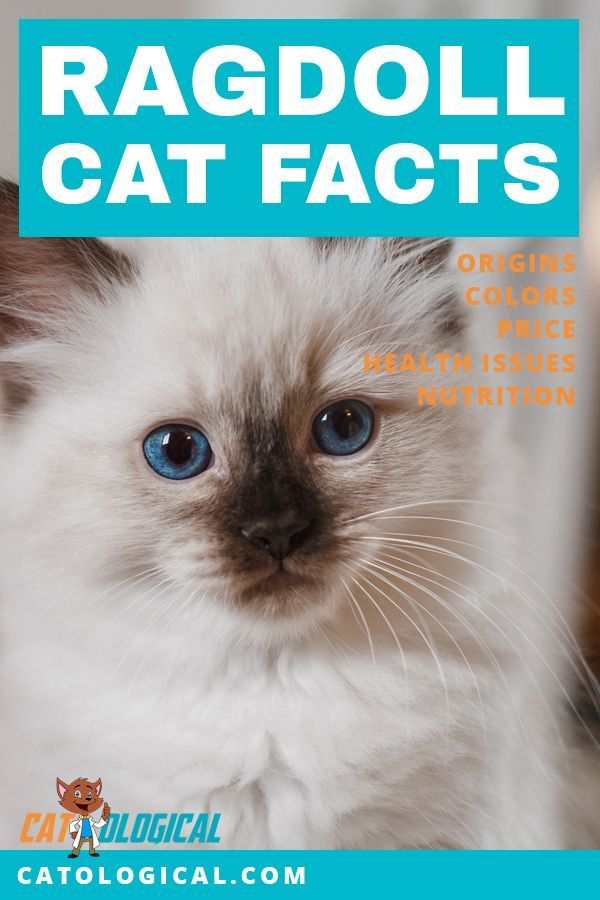 Ragdoll Cat Facts Figures And Vital Information For Owners With Images Ragdoll Cat Cat Facts Cats