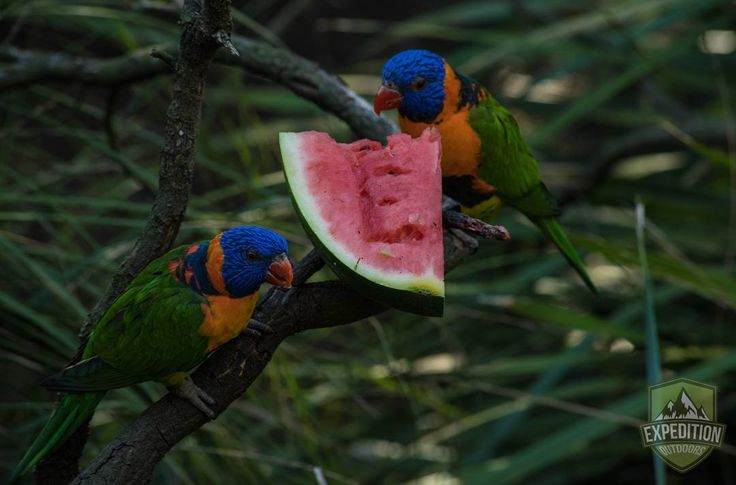 A photo of two lorikeets eating a watermelon at the Melbourne Zoo in Melbourne Victoria.  #victoria #visitmelbourne #instavictoria#expeditionoutdoors #SeeAustralia#discoveraustralia #earthpics#bestnatureshots #igpowerclub#igphotoworld #GlobalCapture#Exploringtheglobe#bestworldpics#phenomenalshot #visitvictoria#photooftheday #traveldiary#beautifulnature #explore #adventure#livelife #wow_australia2016#naturewelove #instabird #feedingtime #lorikeet #watermelon