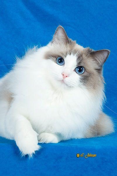 X Persian Kittens