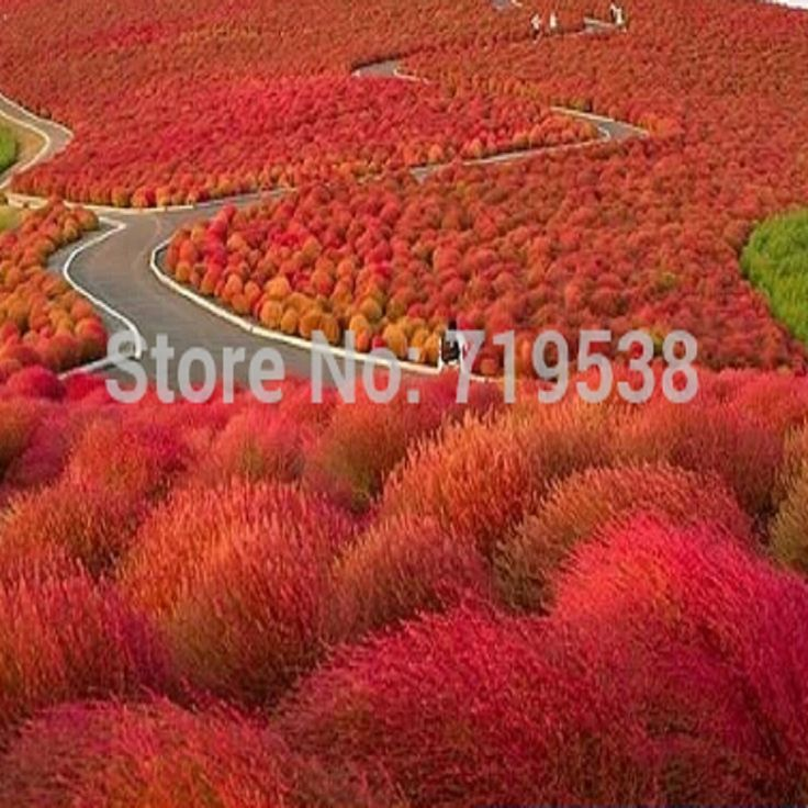 Grass seeds Perennial 100 seeds Grass Burning Bush Kochia Scoparia Seeds Red Garden Ornamental easy grow