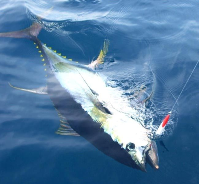 tuna | Tuna Fishing Tips and Techniques