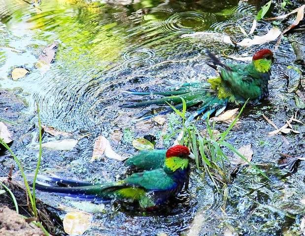 Did you know that the red-capped parrots can only found in the south west of Western Australia? They usually are found in tall eucalypt forests and are mainly sedentary. These two beauties are enjoying a bath at Ravenswood. Pic by Sharlenekennedy via #Instagram  #JustAnotherDayinWA #VisitPeel #AnytimeAdventures