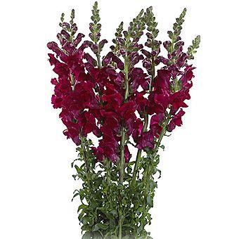 Burgundy Snapdragon Flower | Bulk Burgundy Snapdragon Flower at Wholesale Prices