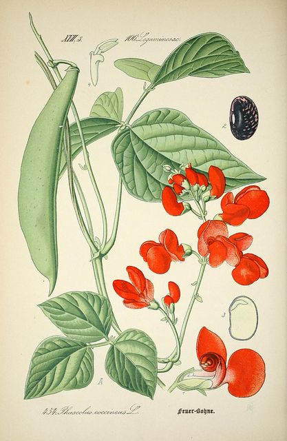 n633_w1150   Flickr - Photo Sharing! #botanical #illustration