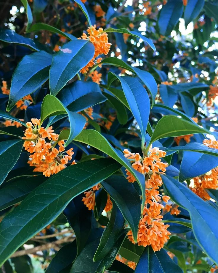 Chinese Osmanthus fragrans aurantiacus in a private garden in Aiken South Carolina