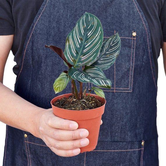 Calathea Ornata 4 Pot In 2021 Calathea Ornata Zebra Plant Calathea