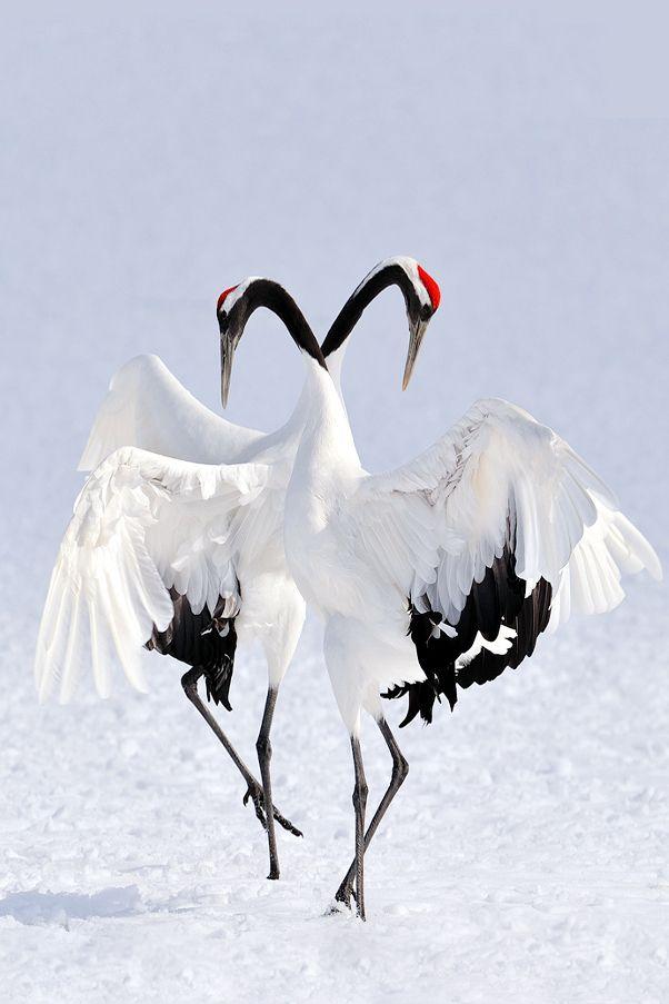 Japanese Crane Courtship Dance | © | Beautiful Birds ... - photo#3