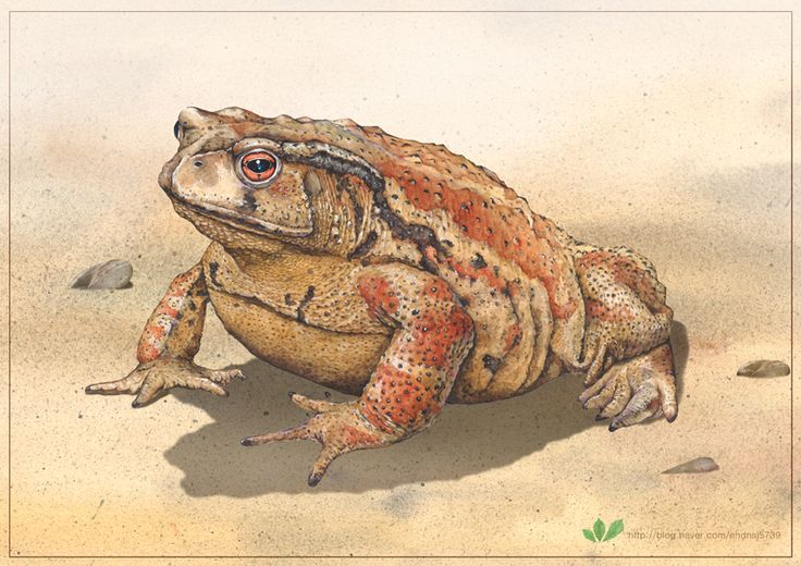 toad  Watercolor illustration