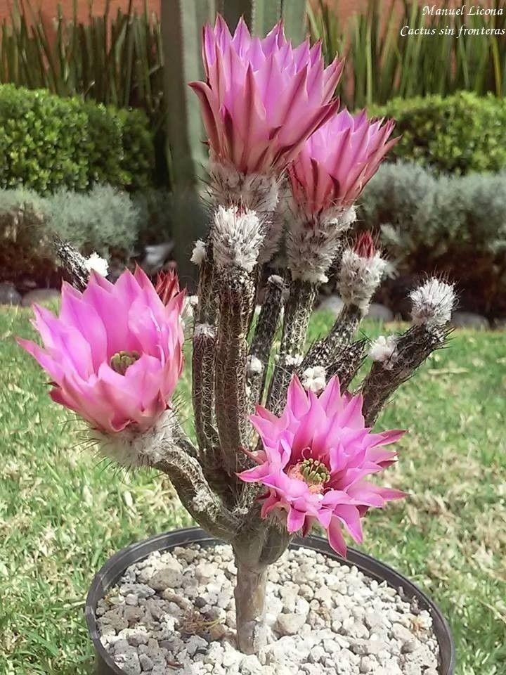 Echinocereus poselgeri / Cactus sin fronteras / Manuel Licona